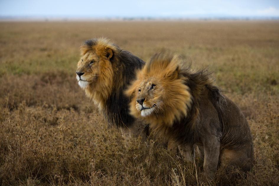 Sư tử diệt sư tử: Cuộc ám sát 3 cắn 1 và sự hồi sinh nghẹt thở của nhà vua - Ảnh 13.