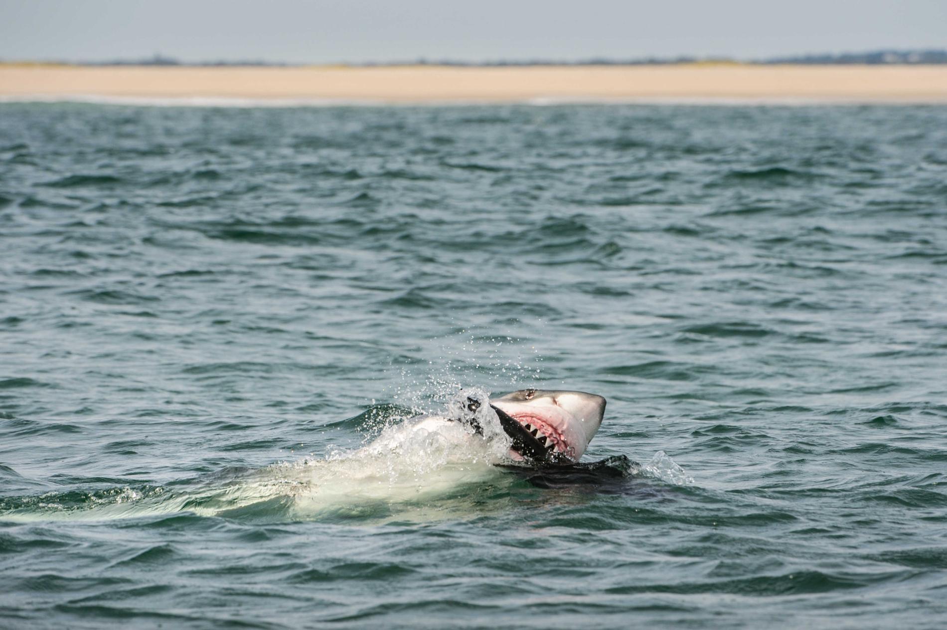 Con cá rất đẹp đột ngột mất tích và cuộc săn tìm đàn cá mập trắng lớn nhất thế giới - Ảnh 9.