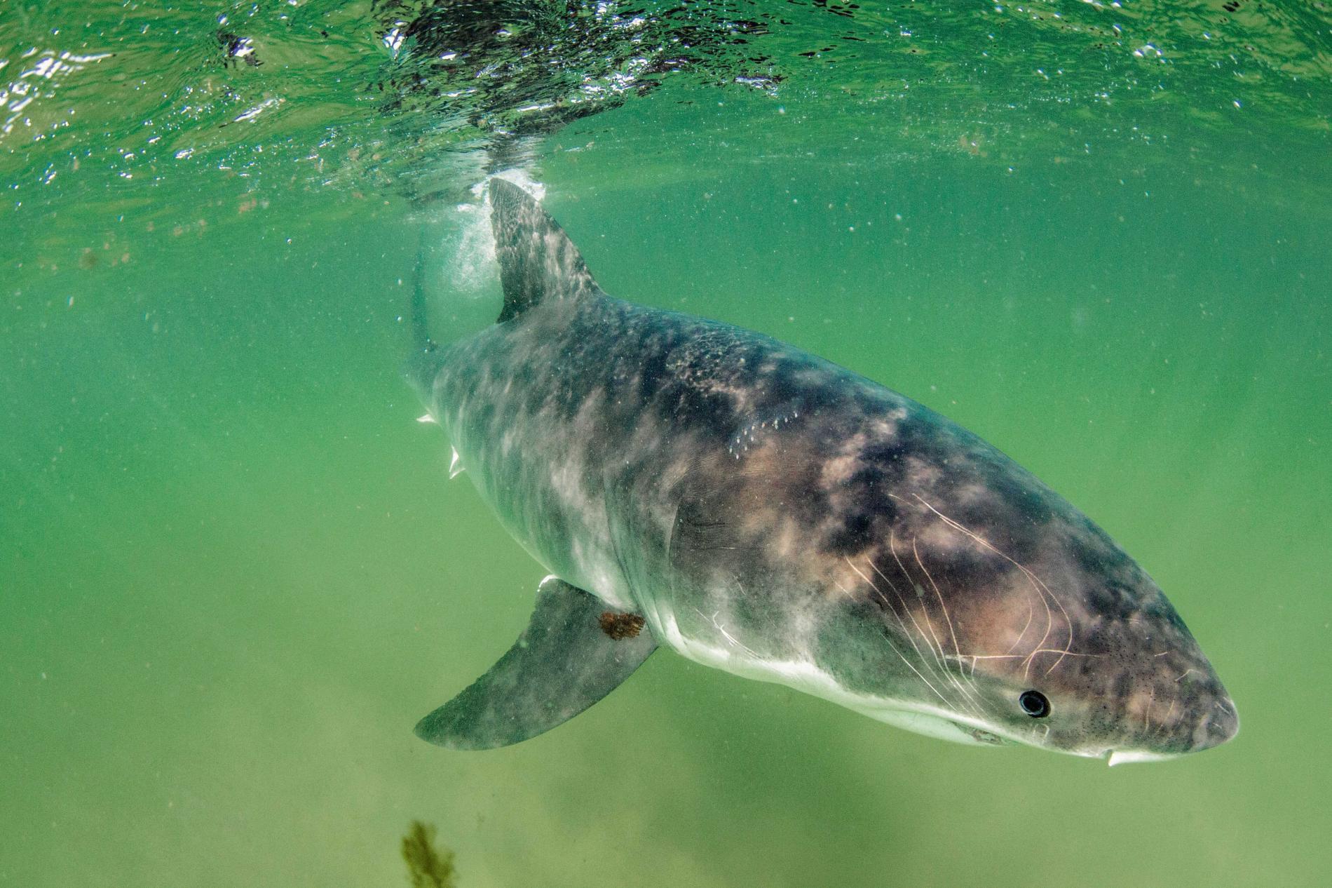 Con cá rất đẹp đột ngột mất tích và cuộc săn tìm đàn cá mập trắng lớn nhất thế giới - Ảnh 14.