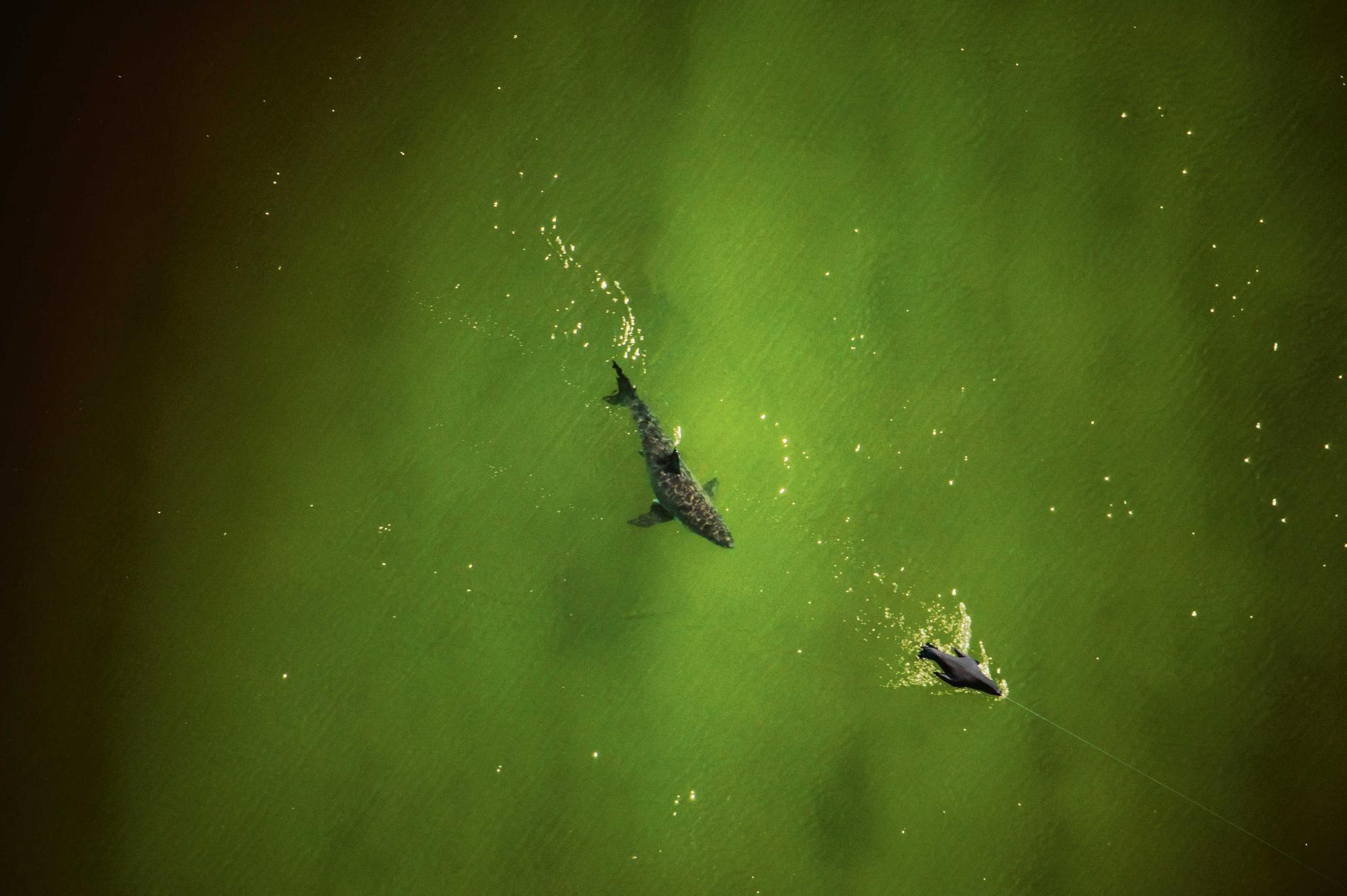 Con cá rất đẹp đột ngột mất tích và cuộc săn tìm đàn cá mập trắng lớn nhất thế giới - Ảnh 6.