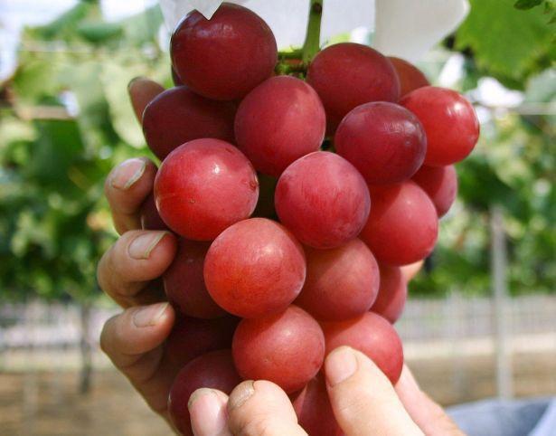 Vì sao một số loại trái cây Nhật Bản có mức giá siêu đắt? - Ảnh 1.