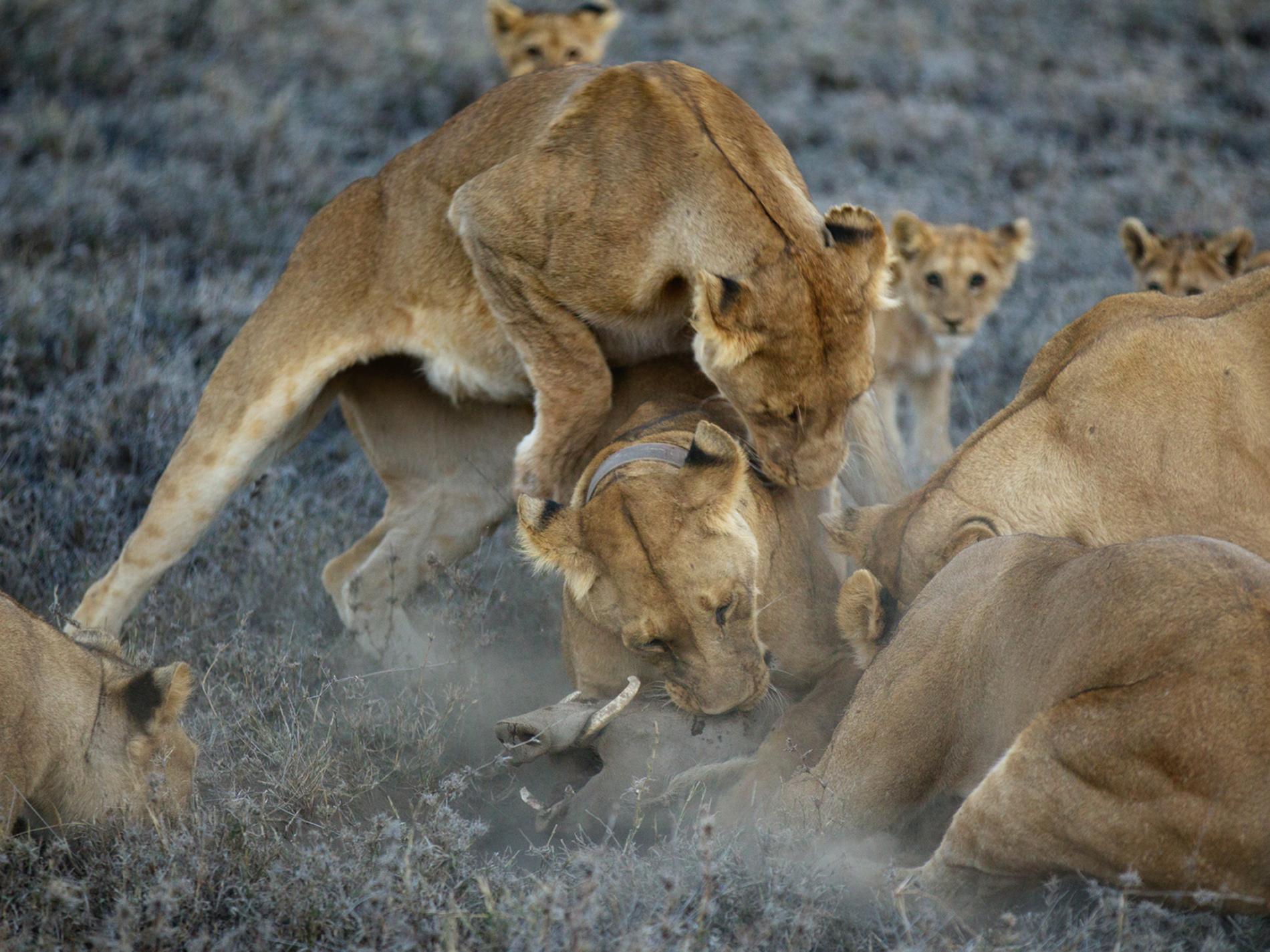Sư tử diệt sư tử: Cuộc ám sát 3 cắn 1 và sự hồi sinh nghẹt thở của nhà vua - Ảnh 18.