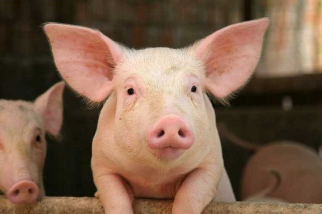 Nhìn lại cuộc khủng hoảng giá lợn năm 2017 - Ảnh 1.