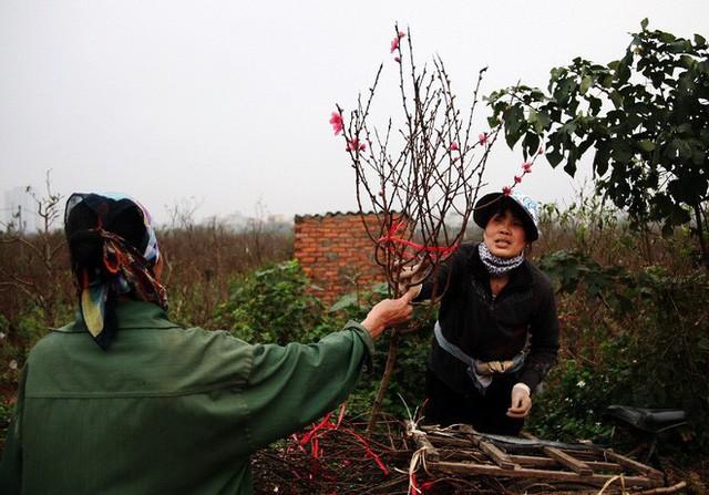 Đào nở sai thời điểm, rớt giá chỉ còn 50.000 đồng/cành, nông dân Nhật Tân như ngồi trên đống lửa  - Ảnh 1.
