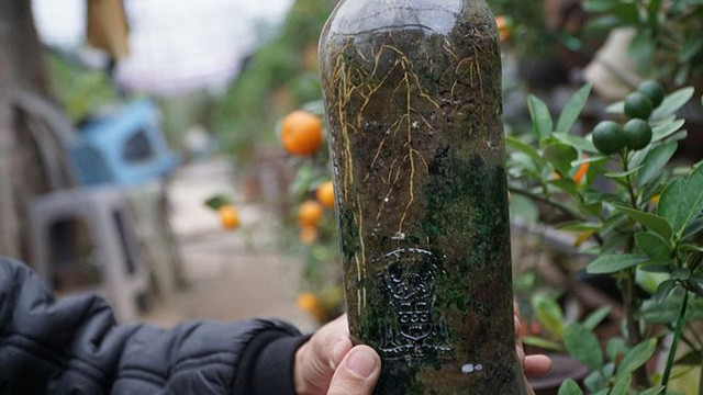 Quất trồng trong chai thủy tinh chờ Tết nguyên đán  - Ảnh 2.