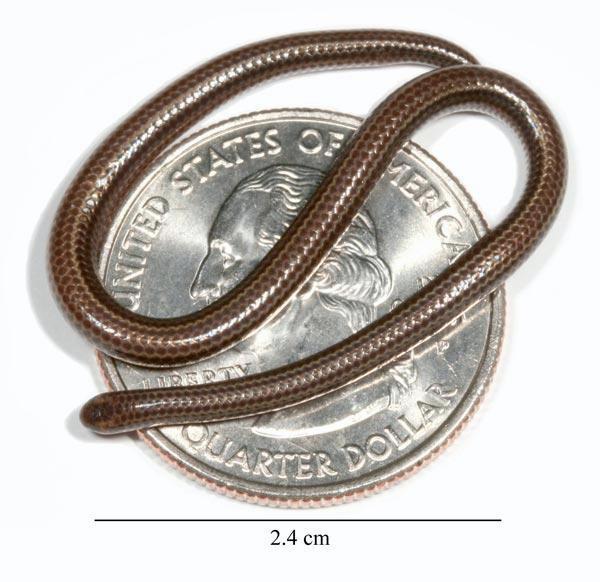 Rắn khổng lồ thì quá quen rồi nhưng loài rắn bé nhất Trái đất thì bạn biết chưa? - Ảnh 1.