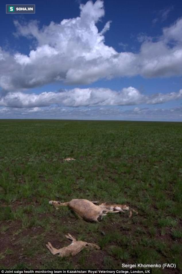 Tìm ra sát thủ thực sự từng quét sạch 2/3 linh dương Saiga trên thế giới trong 3 tuần - Ảnh 1.
