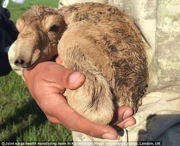 Tìm ra sát thủ thực sự từng quét sạch 2/3 linh dương Saiga trên thế giới trong 3 tuần - Ảnh 3.