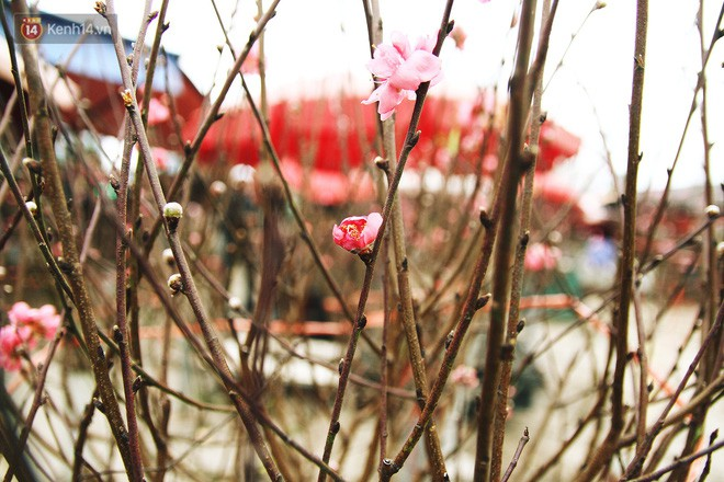 Người dân làng đào Nhật Tân: Từ giờ đến Tết mà rét thế này thì đào không nở hoa kịp mất! - Ảnh 11.