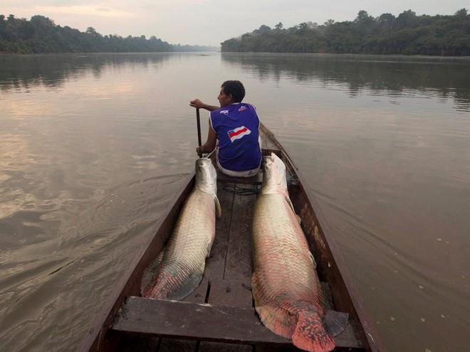 Ngư dân trở về sau chuyến đi câu với hai con cá pirarucu to bự, đây là loài các nước ngọt lớn nhất vùng Nam Mỹ và chỉ được phép săn bắt một lần trong năm. Cơ quan bảo vệ môi trường Brazil chỉ cho phép bắt pirarucu với số lượng giới hạn.