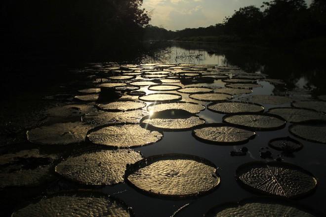 Con sông này chứa hàng trăm phụ lưu nhỏ. Trong ảnh: Những lá hoa súng trên mặt hồ nước tại Khu bảo tồn Quốc gia Pacaya Samiria của Peru.
