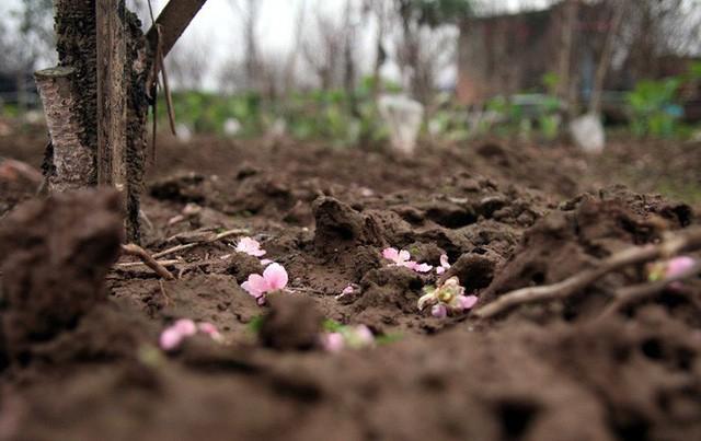 Đào nở sai thời điểm, rớt giá chỉ còn 50.000 đồng/cành, nông dân Nhật Tân như ngồi trên đống lửa  - Ảnh 4.