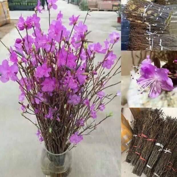 Bà nội trợ Hà thành 'phát sốt' với hoa 'đỗ quyên ngủ đông' như bó củi khô giá 200 nghìn đồng  - Ảnh 4.