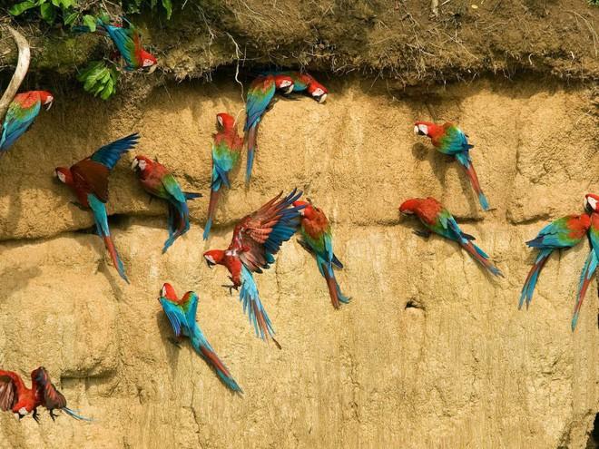 Nhờ diện tích rộng lớn, rừng mưa nhiệt đới này là nơi sinh sống của 10% số lượng loài được biết trên toàn thế giới. Trong ảnh: Vẹt xanh và đỏ trong khu bảo tồn sinh quyển Manu ở Manu, Peru.