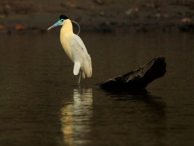 Một số loài vật rất dễ phát hiện. Trong ảnh: Một con vạc trên sông Maranon thuộc Loreto, Peru.