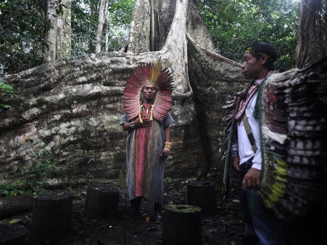 Rừng Amazon cũng là nơi trú ngụ của 350 ngôi làng của các bộ tộc, như bộ tộc Huni Kui Indian. Trong ảnh là một thầy tế đang thực hiện nghi lễ cho samuma, một loài cây thiêng của tộc người này tại làng Novo Segredo, Brazil.
