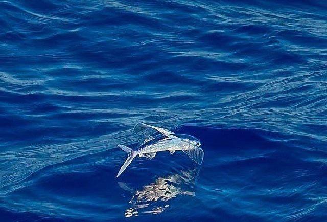 Cá chuồn, loài cá biết bay - Ảnh 1.