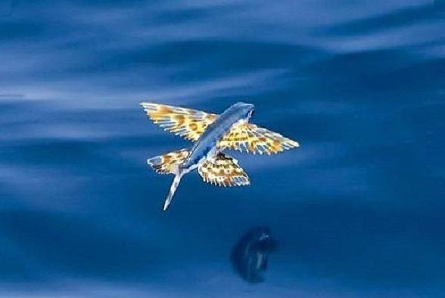 Cá chuồn, loài cá biết bay - Ảnh 4.