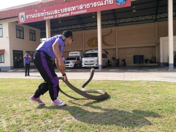 Kinh hoàng cảnh bắt rắn hổ mang chúa dài 5 mét bằng tay không - ảnh 1