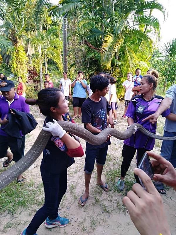 Kinh hoàng cảnh bắt rắn hổ mang chúa dài 5 mét bằng tay không - ảnh 4