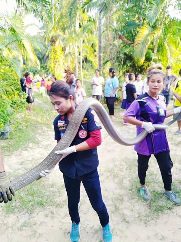 Kinh hoàng cảnh bắt rắn hổ mang chúa dài 5 mét bằng tay không - ảnh 5