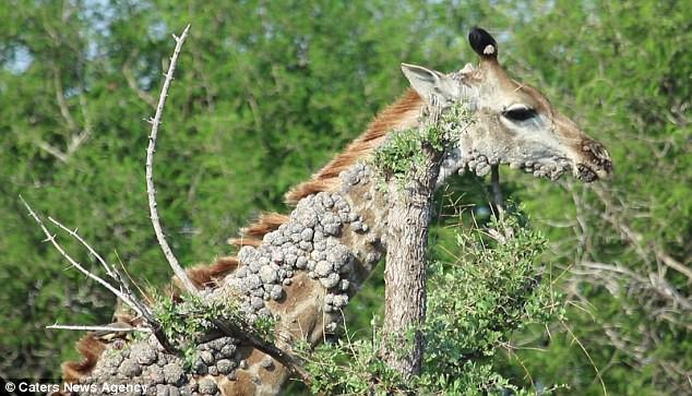 Xót thương cảnh hươu cao cổ bị cả đàn xa lánh: Nó tìm đến cái cây và có hành động lạ - Ảnh 4.