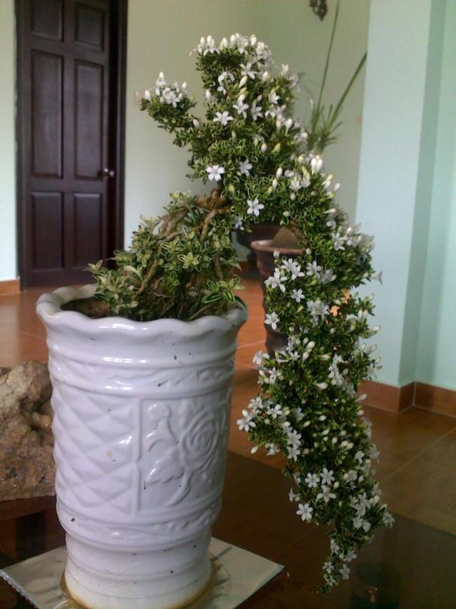Bạch tuyết mai - cây cảnh không thể thiếu mang sung túc vào nhà trong dịp Tết Kỷ Hợi 2019 - Ảnh 10.