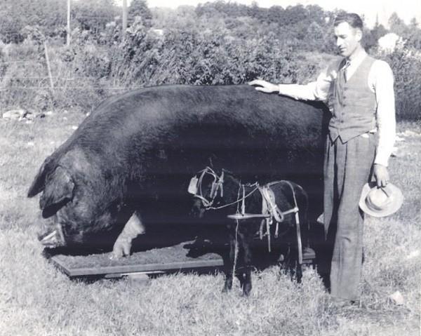 Big Bill - chú lợn to nhất thế giới