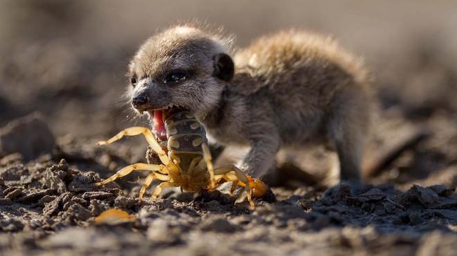 Quà Valentine: Sở thú Mỹ mời bạn đặt tên người yêu cũ cho gián rồi xem nó bị chồn đất ăn thịt - Ảnh 2.