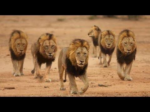 Hiếm thấy dù ở bất cứ đâu: 5 con sư tử đực cùng tụ tập lại 1 chỗ để làm gì? - Ảnh 2.