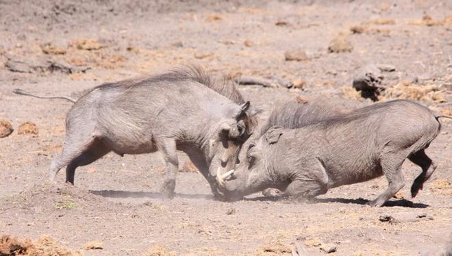 Nhân năm Kỷ Hợi tìm hiểu loài lợn cực thú vị: Mang ngà như voi, lại có đến 4 cái - Ảnh 8.