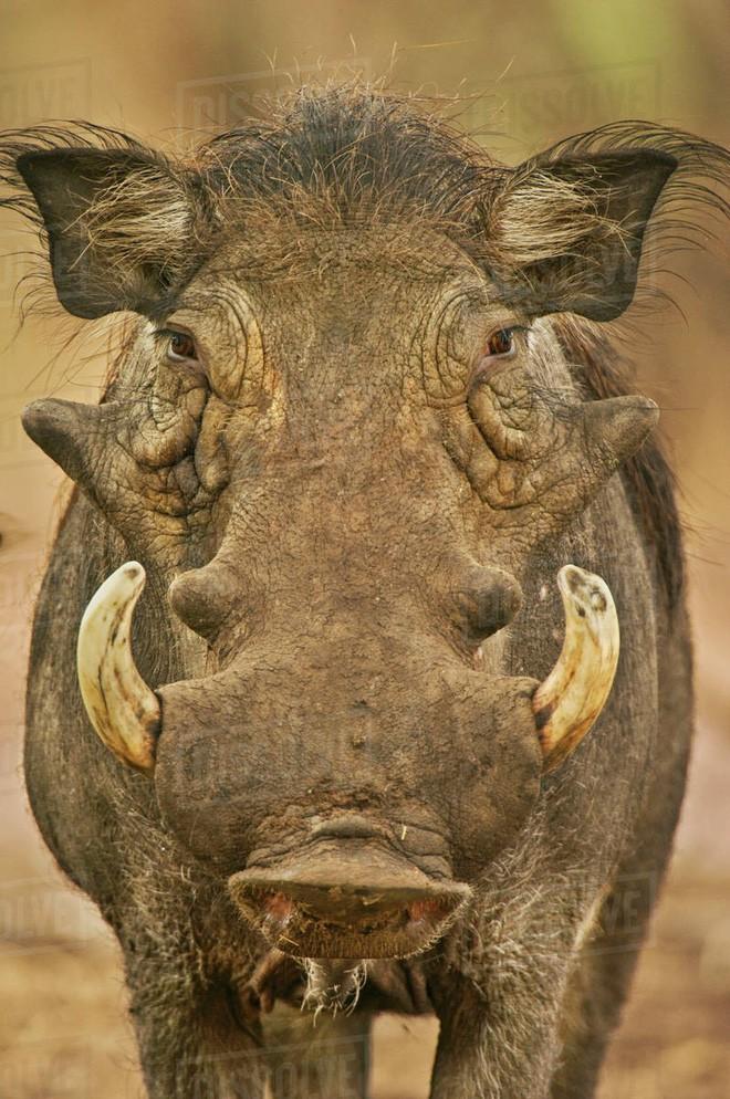 Nhân năm Kỷ Hợi tìm hiểu loài lợn cực thú vị: Mang ngà như voi, lại có đến 4 cái - Ảnh 9.