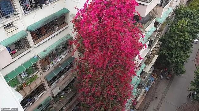 Choáng ngợp cây hoa giấy khổng lồ gần 30 tuổi chảy dài như thác nước phủ kín tòa nhà 9 tầng, trở thành tâm điểm hút khách du lịch - Ảnh 1.