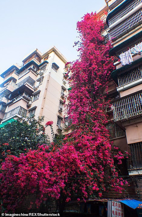 Choáng ngợp cây hoa giấy khổng lồ gần 30 tuổi chảy dài như thác nước phủ kín tòa nhà 9 tầng, trở thành tâm điểm hút khách du lịch - Ảnh 3.