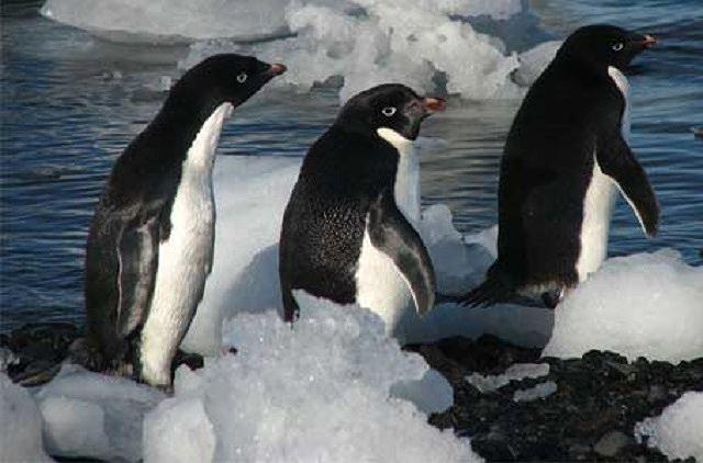 5 loài động vật có nguy cơ tuyệt chủng vì biến đổi khí hậu - Ảnh 4.
