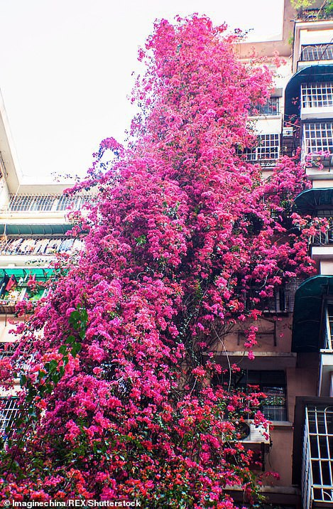 Choáng ngợp cây hoa giấy khổng lồ gần 30 tuổi chảy dài như thác nước phủ kín tòa nhà 9 tầng, trở thành tâm điểm hút khách du lịch - Ảnh 5.