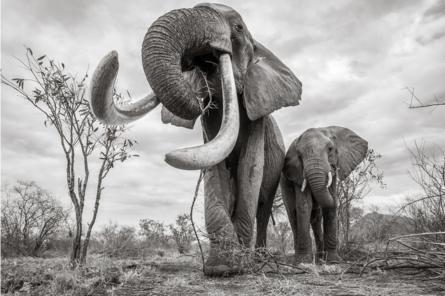Những hình ảnh cuối cùng về voi nữ hoàng của Kenya với đôi ngà đẹp nhất thế giới, chạm tới đất - Ảnh 1.