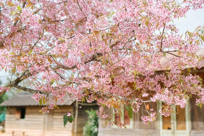 Lên Đà Lạt check-in với mai anh đào, nhiều bạn trẻ 'tiện thể' ngắt hoa, bẻ cành, đu lên tường chụp ảnh - ảnh 1