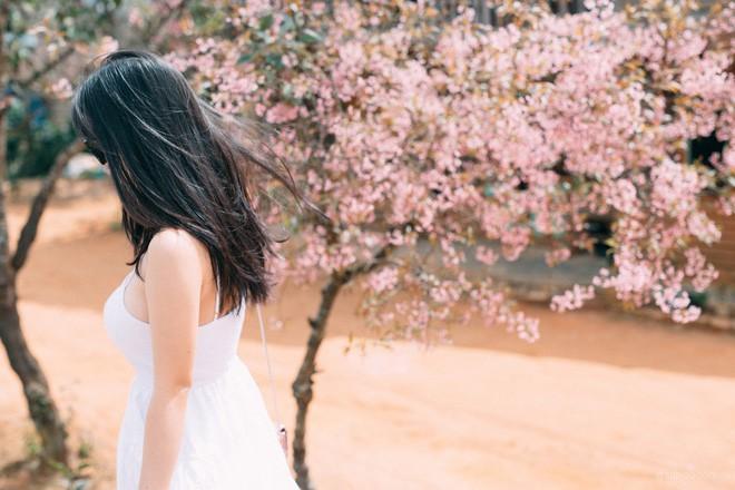 Lên Đà Lạt check-in với mai anh đào, nhiều bạn trẻ 'tiện thể' ngắt hoa, bẻ cành, đu lên tường chụp ảnh - ảnh 3