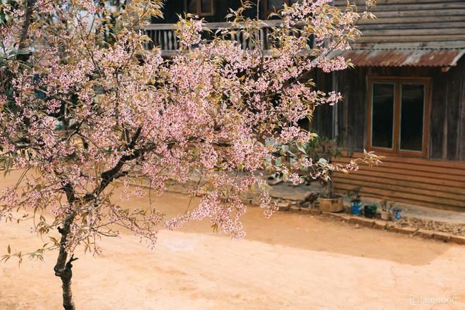 Lên Đà Lạt check-in với mai anh đào, nhiều bạn trẻ 'tiện thể' ngắt hoa, bẻ cành, đu lên tường chụp ảnh - ảnh 4