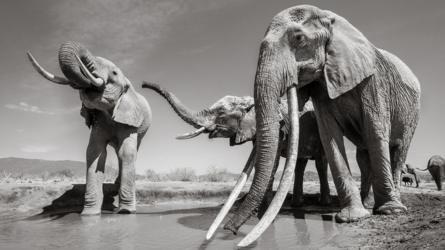 Những hình ảnh cuối cùng về voi nữ hoàng của Kenya với đôi ngà đẹp nhất thế giới, chạm tới đất - Ảnh 7.