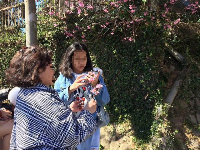 Lên Đà Lạt check-in với mai anh đào, nhiều bạn trẻ 'tiện thể' ngắt hoa, bẻ cành, đu lên tường chụp ảnh - ảnh 5