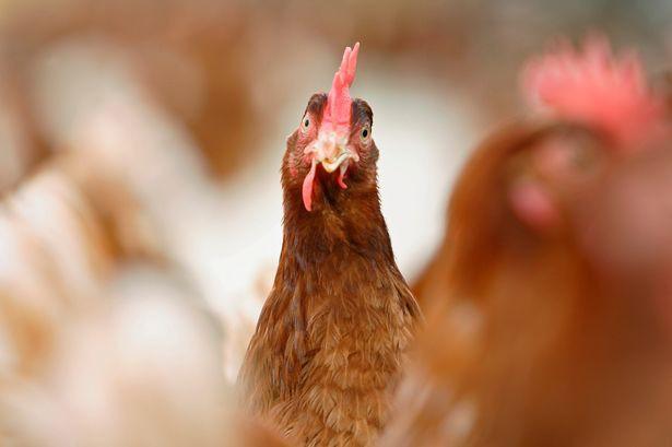 Chán cảnh bị ăn thịt, cả bầy 3000 con gà mái vùng lên mổ chết một con cáo - Ảnh 1.