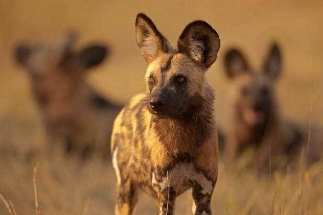 Thập diện mai phục: Chó hoang giăng kín lối,  bịt mọi đường thoát để tóm lợn rừng - Ảnh 1.