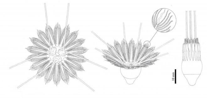 Bảng vẽ mô phỏng lại lông của Daihua sanqiong