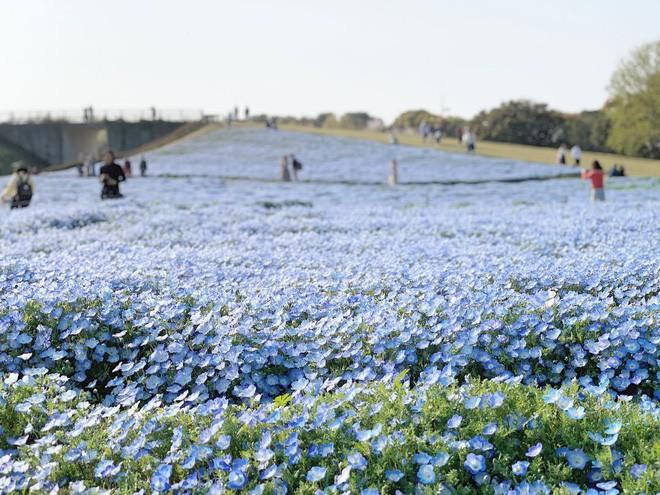 Thiên đường hoa gây sốt Nhật Bản: Hàng cây anh đào kết hợp rừng hoa mắt xanh đẹp như một giấc mơ - Ảnh 3.