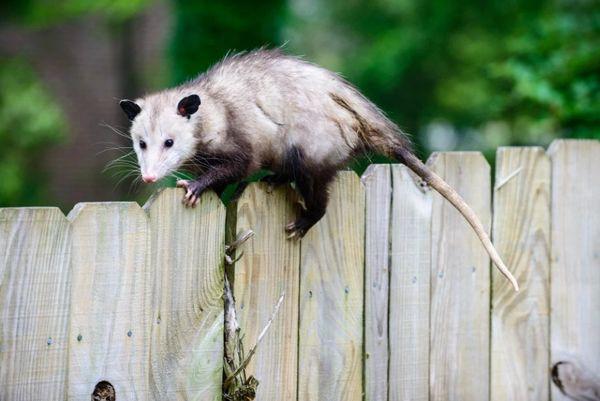 Thực ra đây chỉ là xác của một con chồn opossum vô hại.