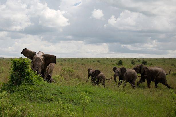 Cảm thấy nguy hiểm, voi mẹ hất tung kẻ xâm phạm nặng đến nửa tấn lên trời - Ảnh 1.