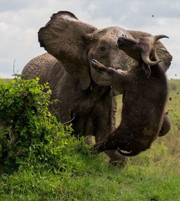 Cảm thấy nguy hiểm, voi mẹ hất tung kẻ xâm phạm nặng đến nửa tấn lên trời - Ảnh 4.