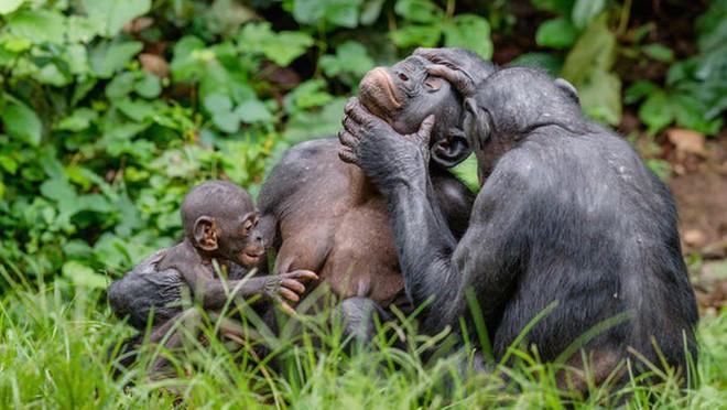 Loài vượn xứng danh bà mẹ tuyệt vời nhất tự nhiên: Tự tay dắt con đi hỏi vợ, lại đứng canh để chúng yêu đương cho tử tế - Ảnh 1.